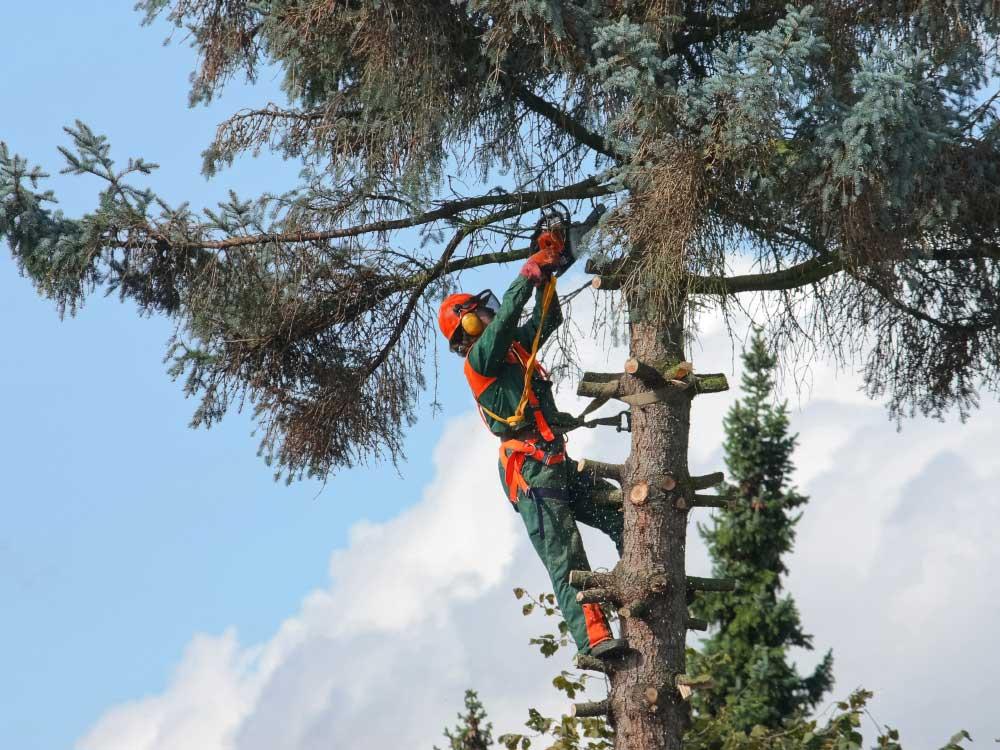 Mit Hilfe von Seilklettertechnik werden auch große Bäume Stück für Stück kleiner